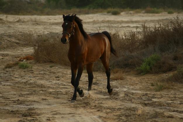 아랍 말은 아라비아 반도에서 시작된 말의 품종입니다.