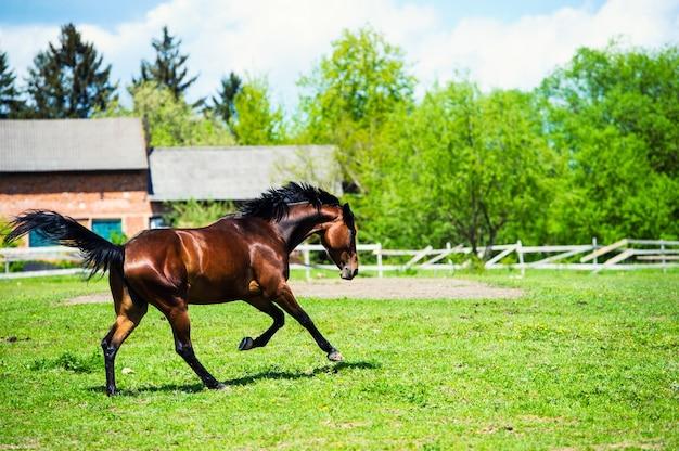アラブレーサーは緑の夏の牧草地で実行されます