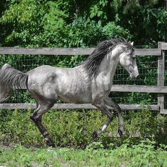 アラビアの灰色の馬は自由に歩きます