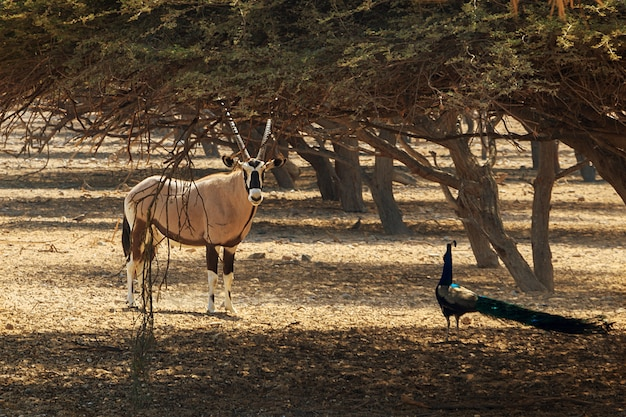 Arabian oryx or white oryx (oryx leucoryx) and peacock in reserve