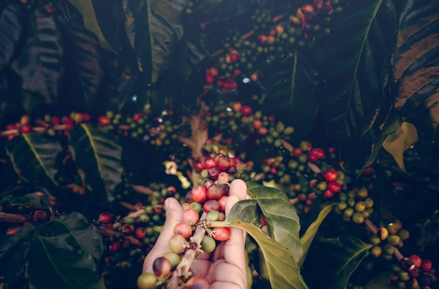 Arabica coffee berries with agriculturist hands. hand holding coffee bean