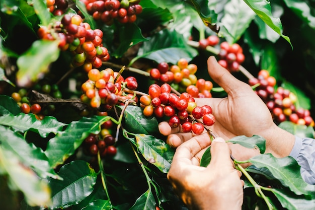농업가 손으로 아라비카 커피 베리류 로부스타 및 아라비카 커피 베리