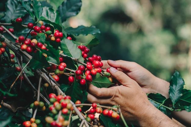 農業専門家の手によるアラビカコーヒーベリーロブスタとアラビカコーヒーベリー
