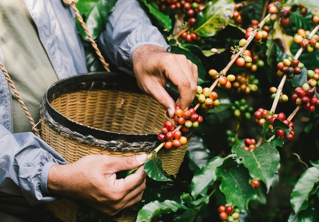Arabica coffee berries with agriculturist handsrobusta and arabica coffee berries