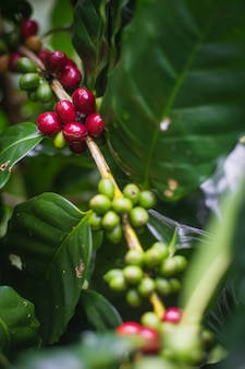 Arabica coffee cherries on tree with green leaves growing in the north of thailand.