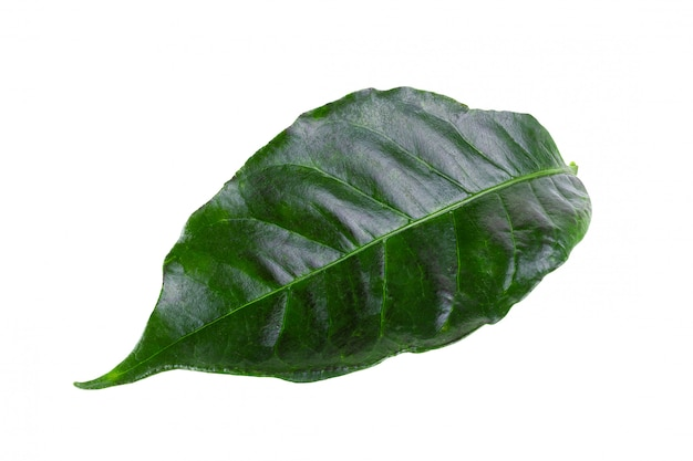Arabica coffee leaf isolated on a white background