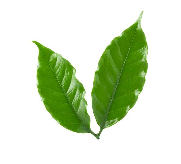 Лист кофе арабика на белом