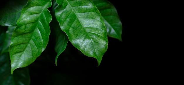 Листья кофе арабика на черном фоне с копией пространства