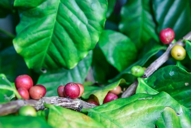 Arabica coffee tree