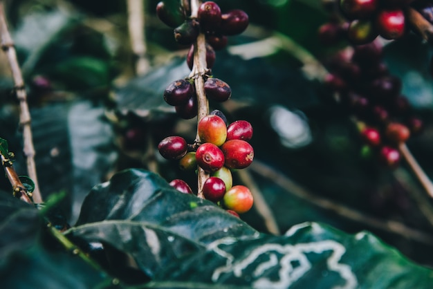 Arabicas coffee tree on coffee tree