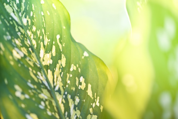 Araceae plant green leaves and sunlight on summer nature blur  / dumb cane ornamental plants