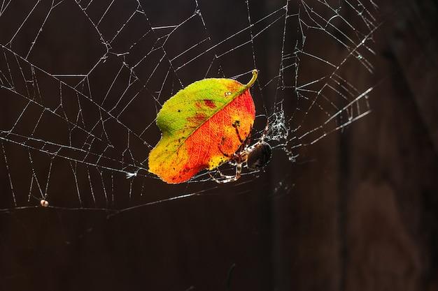 거미 물린 개념에 대한 거미 공포증 공포. 매크로는 거미, 흐릿한 갈색 배경에 거미줄 거미줄에 화려한 가을 잎을 닫습니다. 곤충의 삶. 할로윈에 대한 공포 무서운 무서운 배너