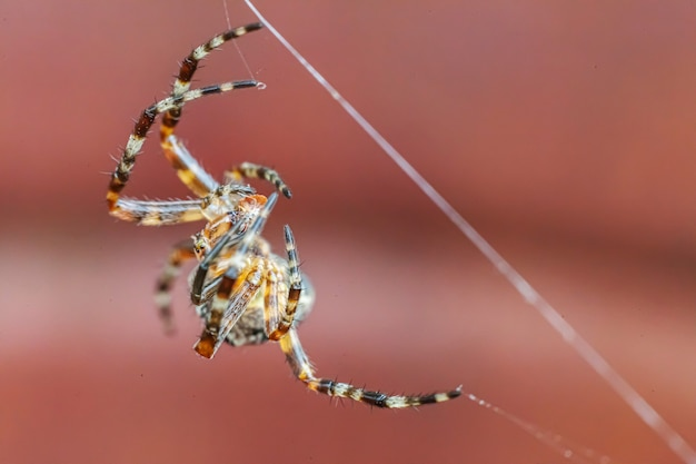 Arachnophobia fear of spider bite concept. macro close up spider on cobweb spider web on blurred brown background. life of insects. horror scary frightening banner for halloween.