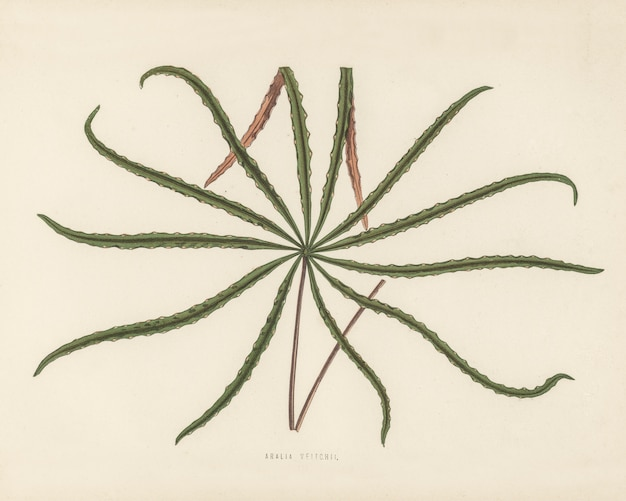 Aralia veitchii engraved by benjamin fawcett