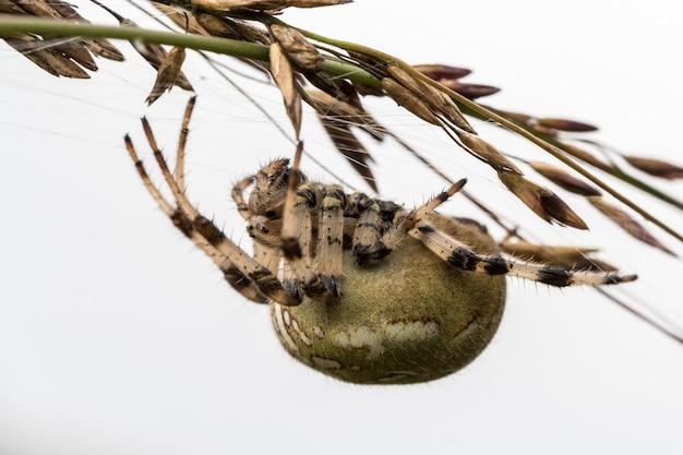 Четырехточечный шар ткача araneus quadratus. женщина-паук висит вниз головой на соломе