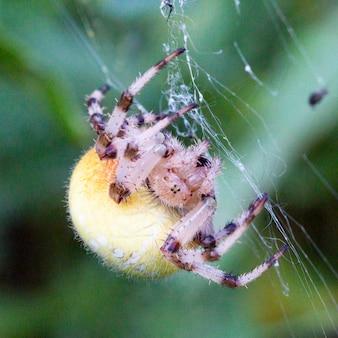 웹에 있는 araneus 거미 암컷, 거대한 암컷 araneus 거미는 웹에 노란색이며 4cm에 이릅니다.