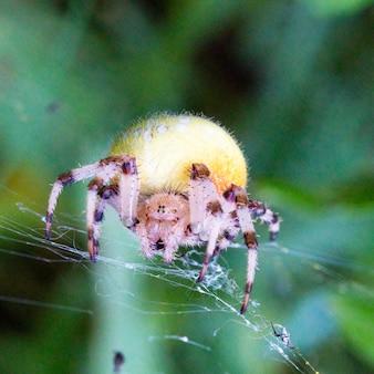 ウェブ上のオニグモのメス、巨大なメスのオニグモはウェブ上で黄色で、4cmに達します