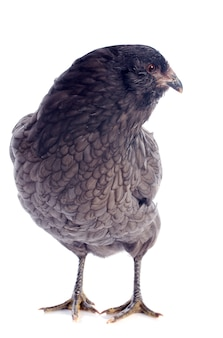 Араукана курица