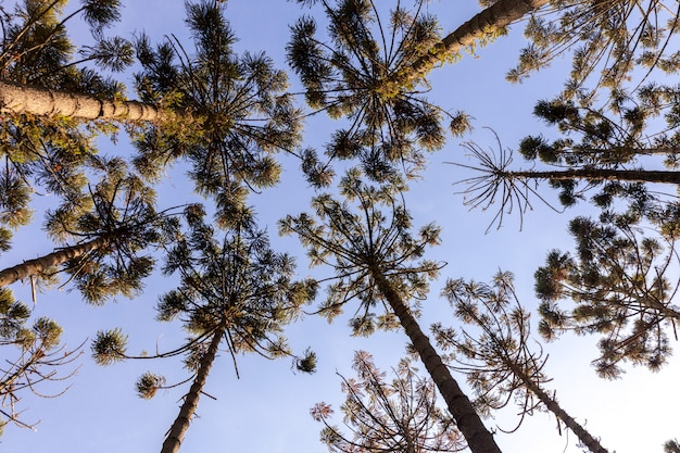 Верхушки деревьев араукарии узколистной при взгляде снизу - глаз муравьев
