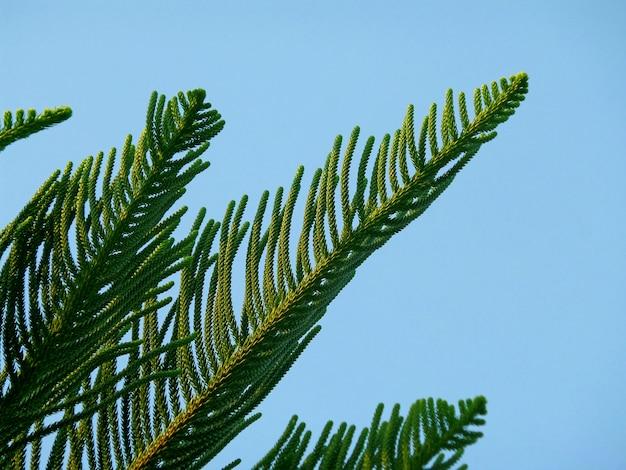 Araucaria columnaris cook pine tree green leaves against bright blue sky