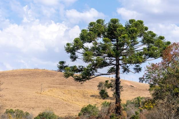 Araucaria in the field and blue sky