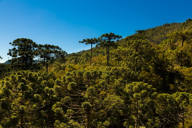 Древесный лес араукария под голубым небом в минас-жерайс, монте-верде.