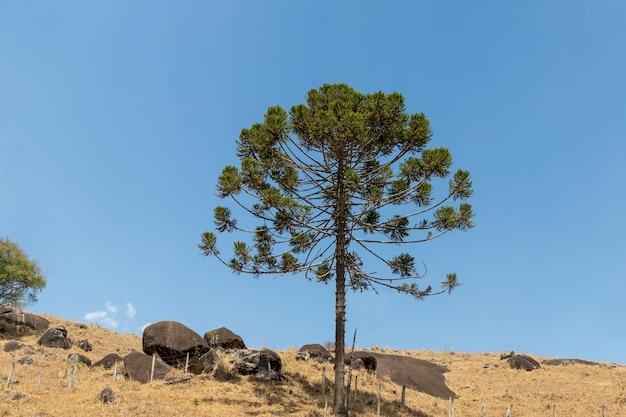 山に孤立したナンヨウスギの木
