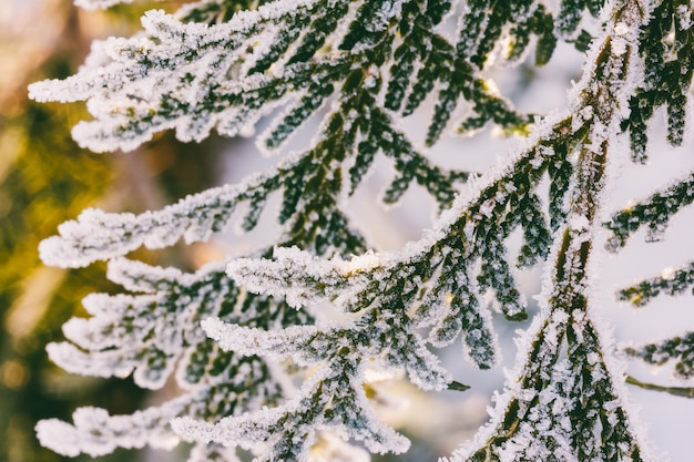 Arborvitae branches covered with frost in the early winter morning, close-up