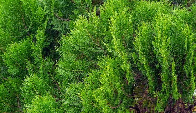 Arborvitaes(thuja spp。)は、焦点が浅く、ヒノキ科の針葉樹の属であるヒノキ科の常緑樹です。自然な背景。