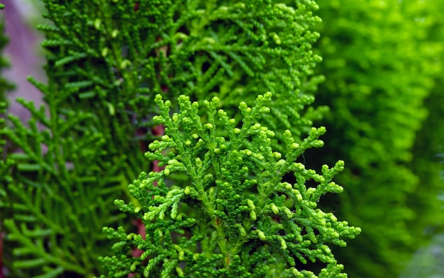 Arborvitaes (thuja spp.), in shallow focus, evergreen members of the cypress family, a genus of coniferous trees in the cupressaceae. natural background.