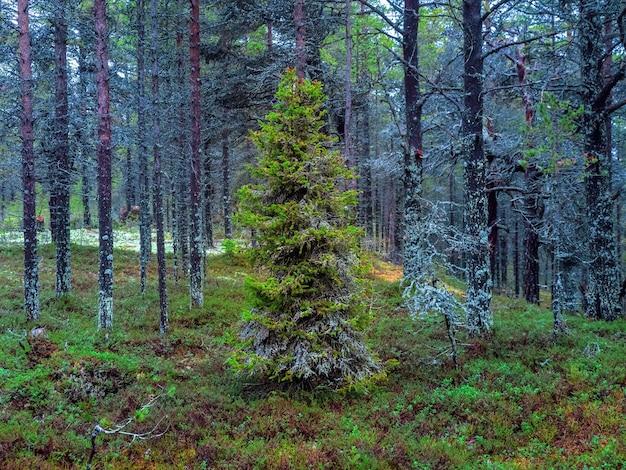 북극의 울창한 북부 숲. 이끼로 덮인 전나무