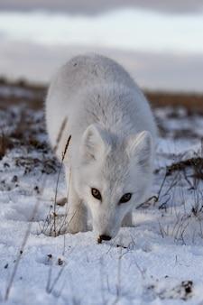 시베리아 툰드라에서 겨울철에 북극 여우가 닫습니다.