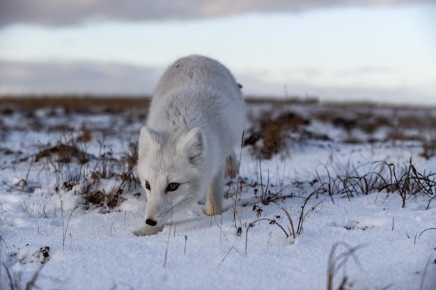 시베리아 툰드라에서 겨울철에 북극 여우