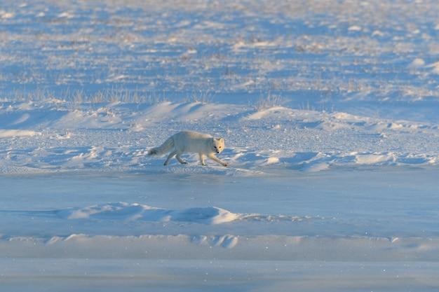シベリアのツンドラの冬のホッキョクギツネ