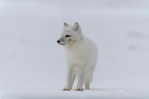 シベリアのツンドラの冬時間のホッキョクギツネ