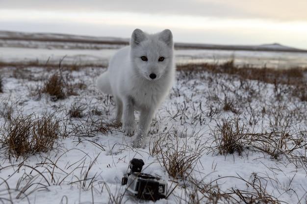 アクションカメラを探しているツンドラの冬のホッキョクギツネ。