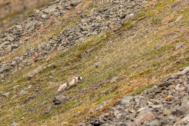 Arctic fox running with a little auk in its mouth, svalbard