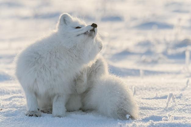 야생 툰드라에 앉아 북극 여우. 긁는 북극여우.