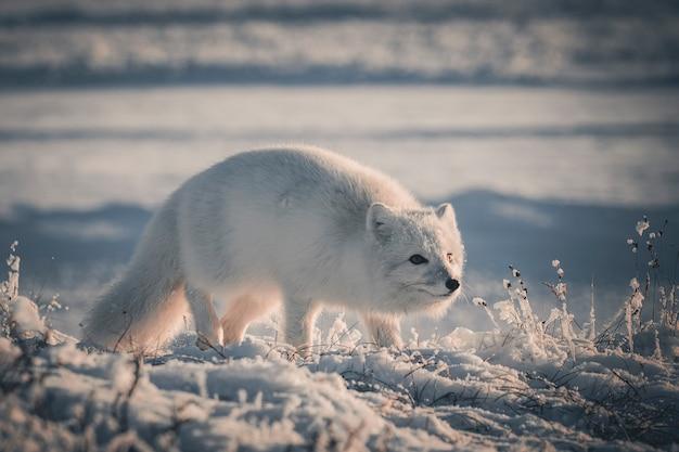 야생 툰드라에 숨어있는 북극여우(vulpes lagopus).