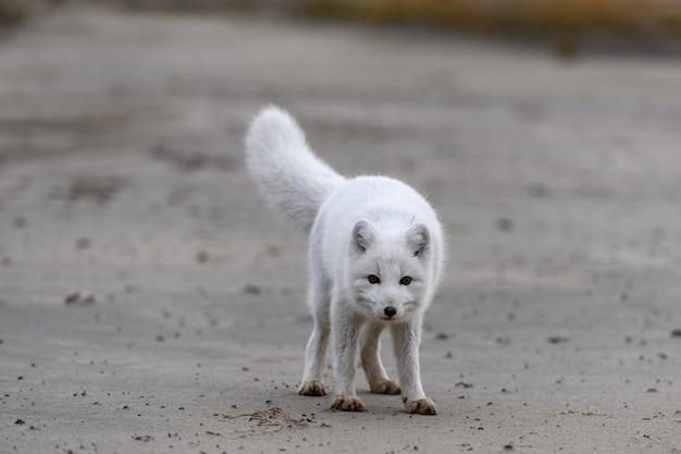 野生のツンドラに生息するホッキョクギツネ(vulpes lagopus)。ビーチの北極キツネ。 Premium写真