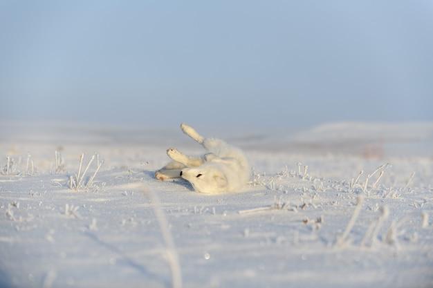 野生のツンドラに生息するホッキョクギツネ(vulpes lagopus)。ホッキョクギツネが横たわっています。ツンドラで眠っています。