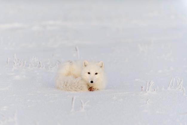 와일드 툰드라의 북극 여우(vulpes lagopus). 북극 여우 거짓말. 툰드라에서 자고 있습니다.