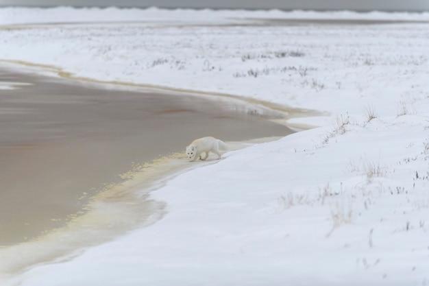 野生のツンドラに生息するホッキョクギツネ(vulpes lagopus)。ビーチの北極キツネ。