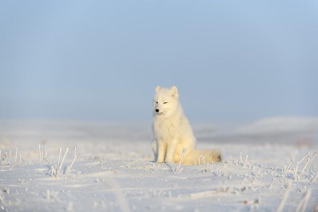 와일드 툰드라의 북극 여우 (vulpes lagopus). 북극 여우 앉아.