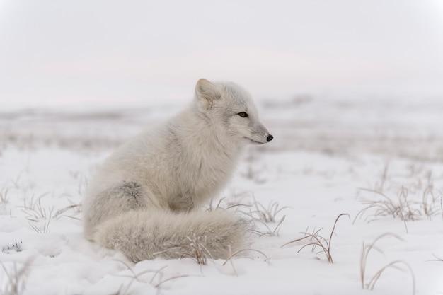 와일드 툰드라의 북극 여우(vulpes lagopus). 북극 여우가 앉아 있습니다.