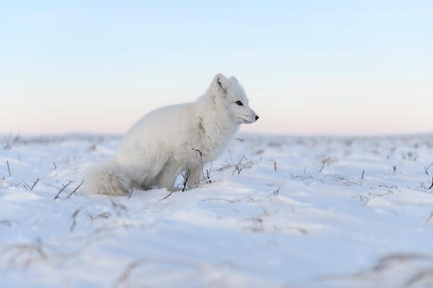 와일드 툰드라의 북극 여우(vulpes lagopus). 흰색 북극 여우가 앉아 있습니다.