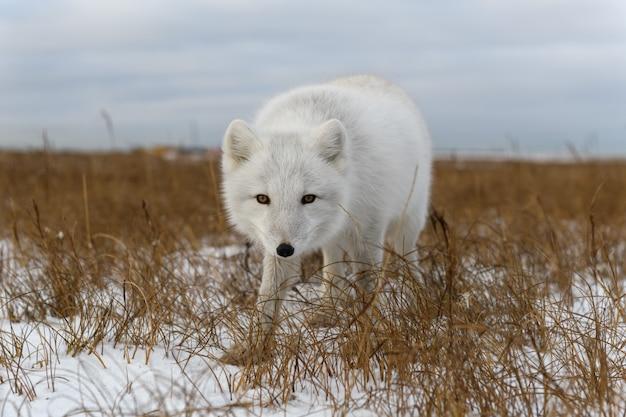 シベリアのツンドラの冬のホッキョクギツネ(vulpes lagopus)