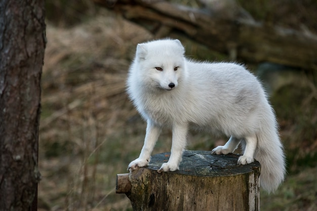 Arctic fox, vulpes lagopus, in white winter coat standing on a tree