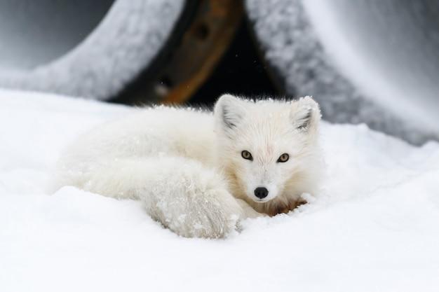 Arctic fox (vulpes lagopus)in wilde tundra