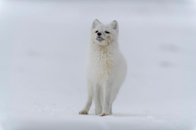 Arctic fox in winter time in siberian tundra
